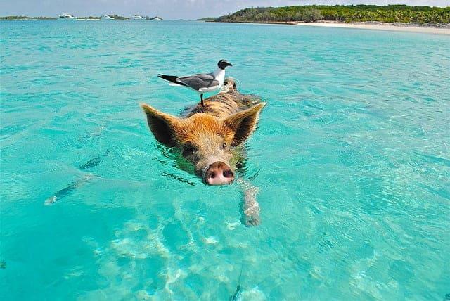 אי החזירים